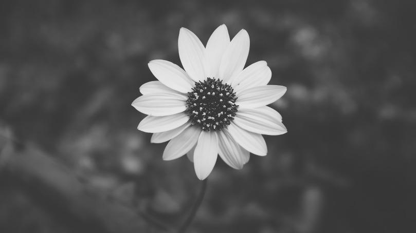 daisy-690352_1920