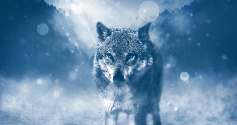 wolf-1836875_1920